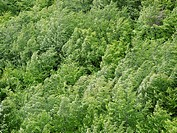 Aerial view of Beech Fagus trees, newly in leaf, in strong winds. The top branches are so flexible that they bend readily, adsorbing the energy of the...