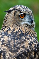 Eurasian Eagle Owl Bubo bubo portrait, Surrey, UK