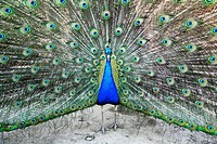 Male peacock. Computer enhanced image of a male peacock Pavo sp. displaying its tail feathers. The male´s extravagant feathers are displayed as part o...