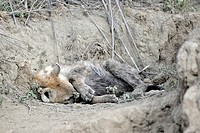 Spotted hyena resting. Spotted hyenas Crocuta crocuta, also known as laughing hyenas, are pack hunting predators that live in groups of up to forty in...
