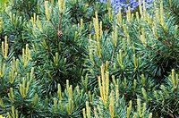 Foliage of Pine Pinus sylvestris ´Chantry Blue´ in May, showing fresh new growth. Photographed in the UK.