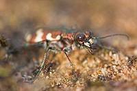 dune tiger beetle Cicindela hybrida, portrait, Germany, Hesse, Viernheimer Heide