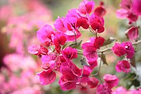Pink Bougainvillea, Madeira, Portugal