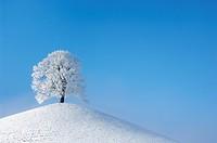 basswood, linden, lime tree Tilia spec., lime tree in winter, Switzerland