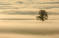 common oak, pedunculate oak, English oak Quercus robur, with mist in evening mood