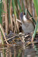 Great Crested Grebe (Podiceps cristatus) standing on nest, with three hatchlings and one unhatched egg visible, Vulkaneifel, Germany, Europe
