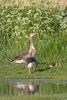 Greylag Geese Anser anser parents and offspring walking over a meadow, Texel, Netherlands, Europe