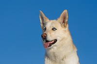 Siberian Husky Canis lupus f. familiaris, portrait of a 5_year_old male dog