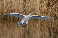 mute swan Cygnus olor, landing on a lake, Germany