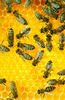 honey_comb and bees