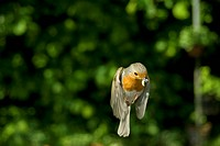 European robin Erithacus rubecula, flying with food in its beak, Germany, North Rhine_Westphalia