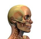 Anatomy head
