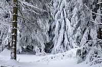 snow covered forest with deep snow in low mountain range, Germany