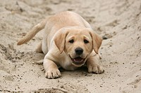Yellow Labrador Retriever puppy lying in the sand