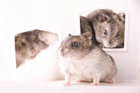Hamsterfamily in a house