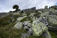 Lichen-covered stones, Niederhorn, Bernese Oberland, Canton of Bern, Switzerland, Europe