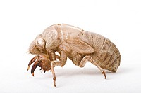 Larva from cicada
