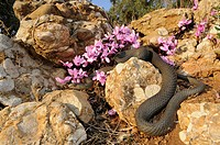 Montpellier snake Malpolon insignitus, Malpolon monspessulanus insignitus, creeping between Greek Sowbread Cyclamen graecum and stones, Greece, Pelopo...