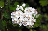 Flowering Midland Hawthorn, Woodland Hawthorn, Mayflower (Crataegus laevigata) medicinal plant