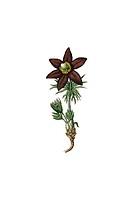 Anemone, historical illustration