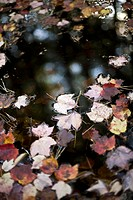 A puddle with autumn leaves floating on the water