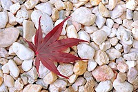 Leaf of a Japanese Maple (Acer palmatum), lying on pebbles