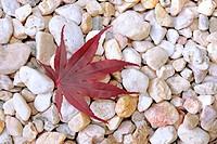 Leaf of a Japanese Maple (Acer palmatum), lying on pebbles