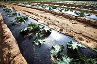 Zucchini cultivation under black mulch foil