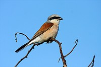 Red_backed shrike Lanius collurio, male on branch