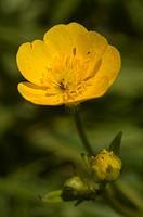 Flor de botón de oro, Creeping Buttercup flower Ranunculus repens  Pontevedra, España