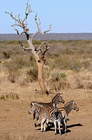 Plains Zebra (Equus burchelli syn. Equus quagga), Madikwe Game Reserve, South Africa, Africa
