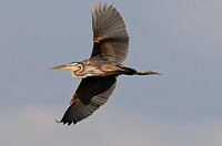 Purple Heron (Ardea purpurea)