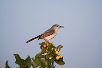 Blue_gray Gnatcatcher Polioptila caerulea, adult, Sinton, Corpus Christi, Coastal Bend, Texas, USA