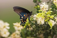 Pipevine Swallowtail Battus philenor, adult feeding on flower, Sinton, Corpus Christi, Coastal Bend, Texas, USA