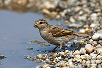 House sparrow (Passer domesticus), female in a puddle