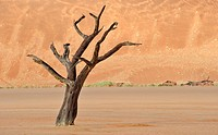 Dead Camel Thorn Tree Acacia erioloba at the Dead Vlei in the Namib Desert, Namibia, Africa
