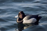 Greater Scaup male _ swimming / Aythya marila