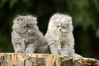 Persian cat _ two kittens _ sitting