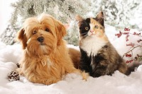 animal friendship: Havanese dog and Siberian cat in the snow
