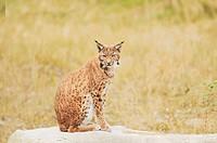 Eurasian lynx _ sitting / Lynx lynx