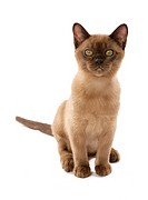 young Burmese cat _ cut out