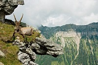 Alpine Ibex on ledge / Capra ibex