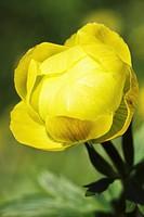 Globe_flower _ yellow blossom / Trollius europaeus