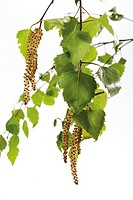 Flowering birch, birch pollen, leaves