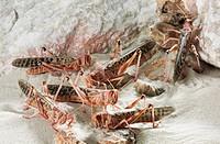 Desert Locusts (Schistocerca gregaria)