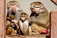 Baboon family (Papio hamadryas)