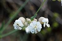 Bladder Campion (Silene vulgaris), La Palma, Canary Islands, Spain, Europe