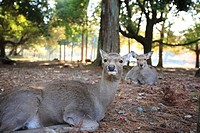 Japan, Nara Prefecture, Nara City, Two deer resting