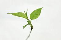 Plant against white background