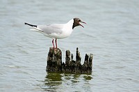 Black- headed Gull Larus ridibundus, calling from post in sea, Texel, Holland